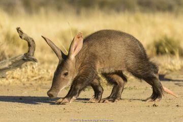 Aardvark (Orycteropus afer), young individual walking, Namibia.