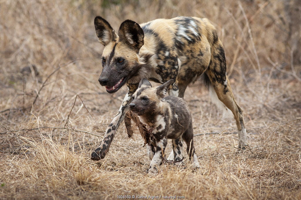 African wild dog (Lycaon pictus) walking alongside a pup carrying regurgitated food. Malilangwe Wildlife Reserve, Zimbabwe