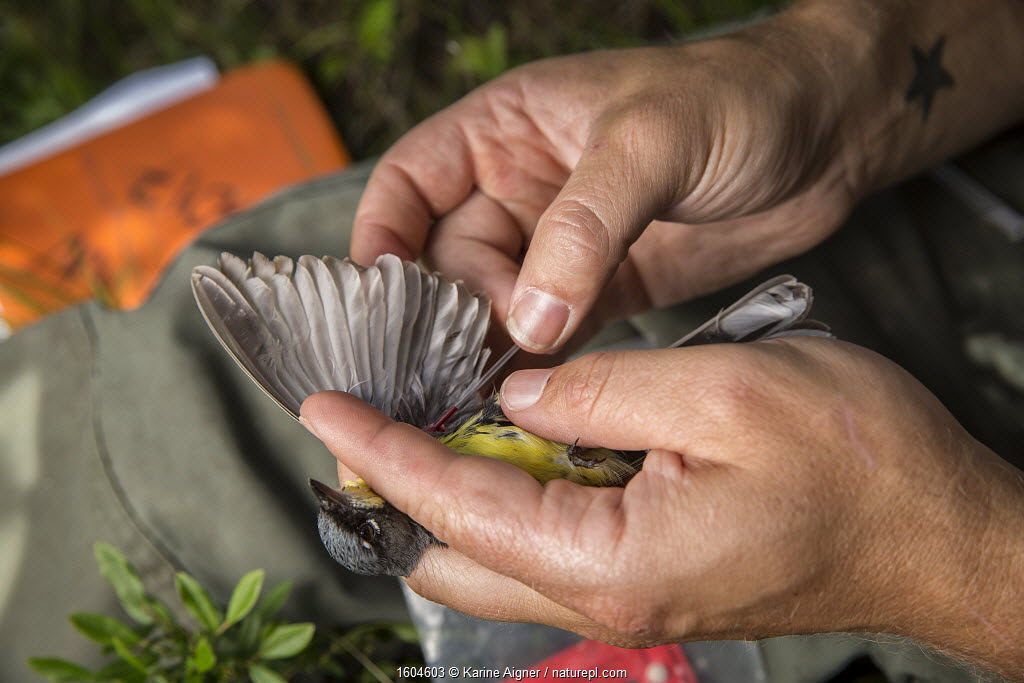 Biologist Nathan Cooper holding male Kirtland's warbler (Setophaga kirtlandii) before replacing previous nano tag with a new one. Michigan, USA.