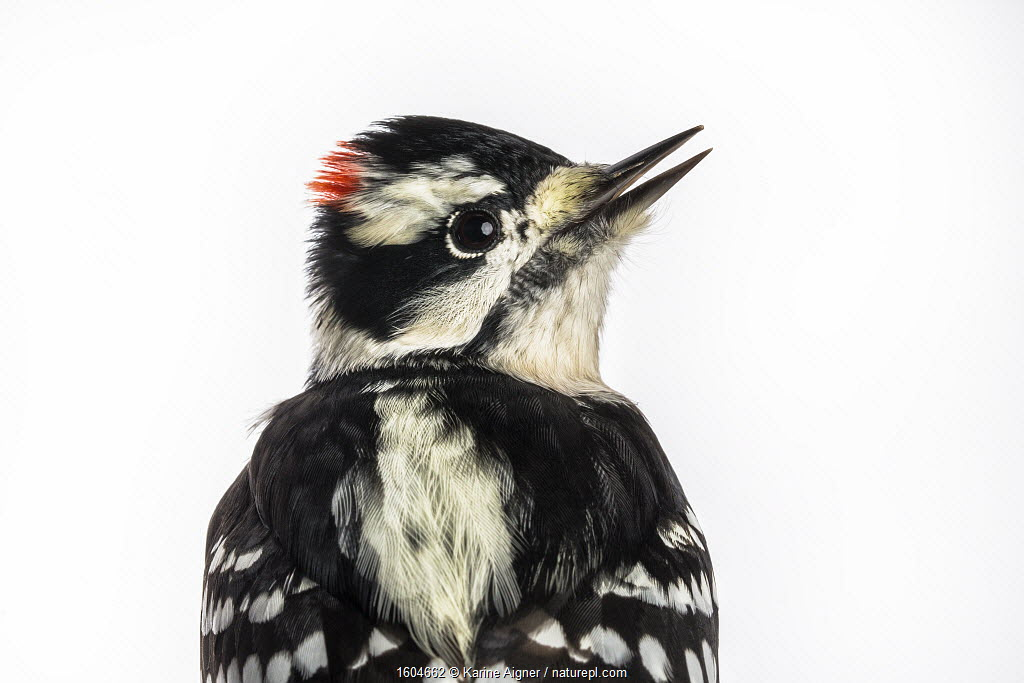 Portrait of a Downy woodpecker (Picoides pubescens) with white background, Block island, Rhode Island, USA. Bird caught during scientific research.