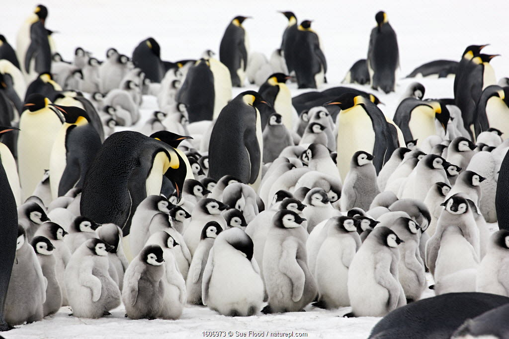 Emperor penguin (Aptenodytes forsteri) adults with young chicks at Snow Hill Island rookery, Antarctica. October.