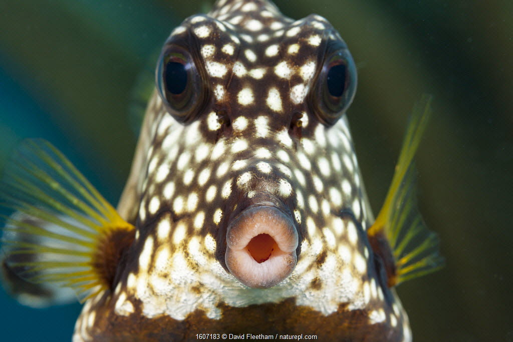 Smooth trunkfish (Lactophrys triqueter), portrait. Bonaire, Dutch Caribbean.