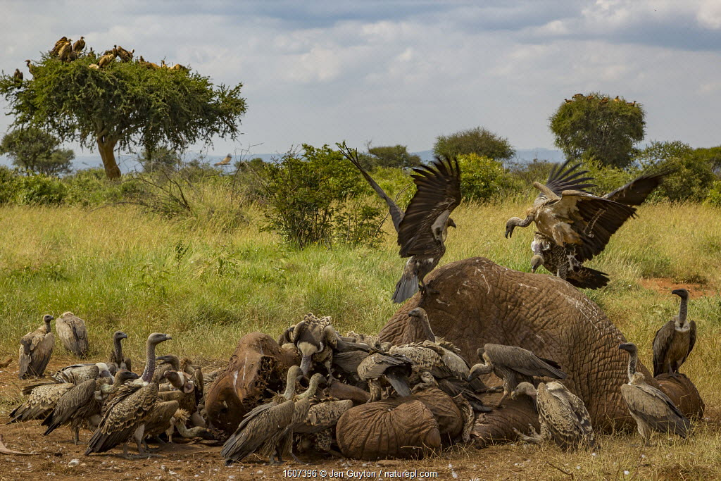 Rüppell's griffon vultures (Gyps rueppelli) and white-backed vultures (Gyps africanus) squabble over an elephant carcass (Loxodonta africana), Laikipia Plateau, Kenya.