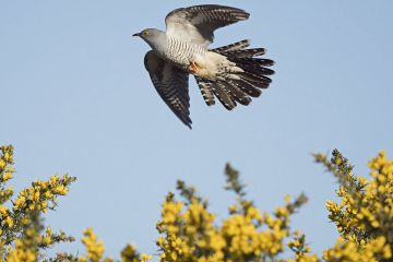 Common cuckoo (Cuculus canorus) male in flight, Peak District, England, UK. May.