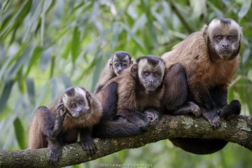 Brown / Tufted Capuchin (Cebus apella) family group in cloud forest, Manu Biosphere Reserve, Peru.