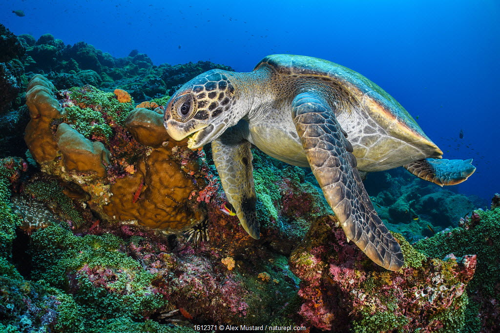 Galapagos green turtle (Chelonia mydas agassizii) swims over a coral reef. Darwin Island, Galapagos National Park, Galapagos Islands.