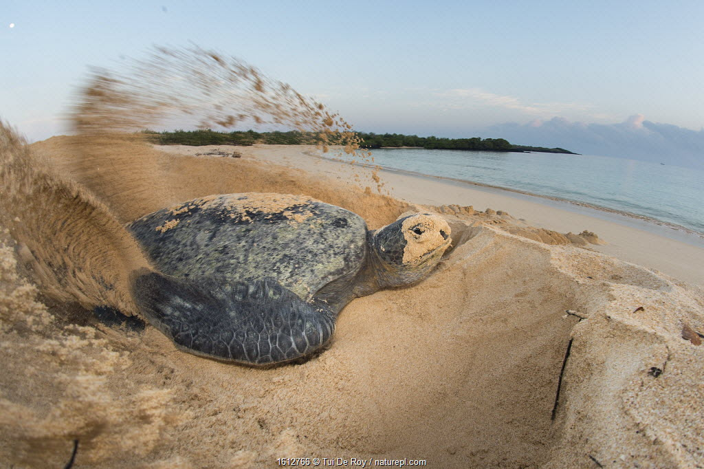 Green turtle (Chelonia mydas) female digging nest, North coast, Santa Cruz Island, Galapagos