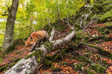 Red fox (Vulpes vulpes) walking along fallen trunk of old Beech (Fagus sylvatica) tree, Coppo del Principe old-growth beech forest in autumn. Abruzzo, Lazio and Molise National Park, Italy.