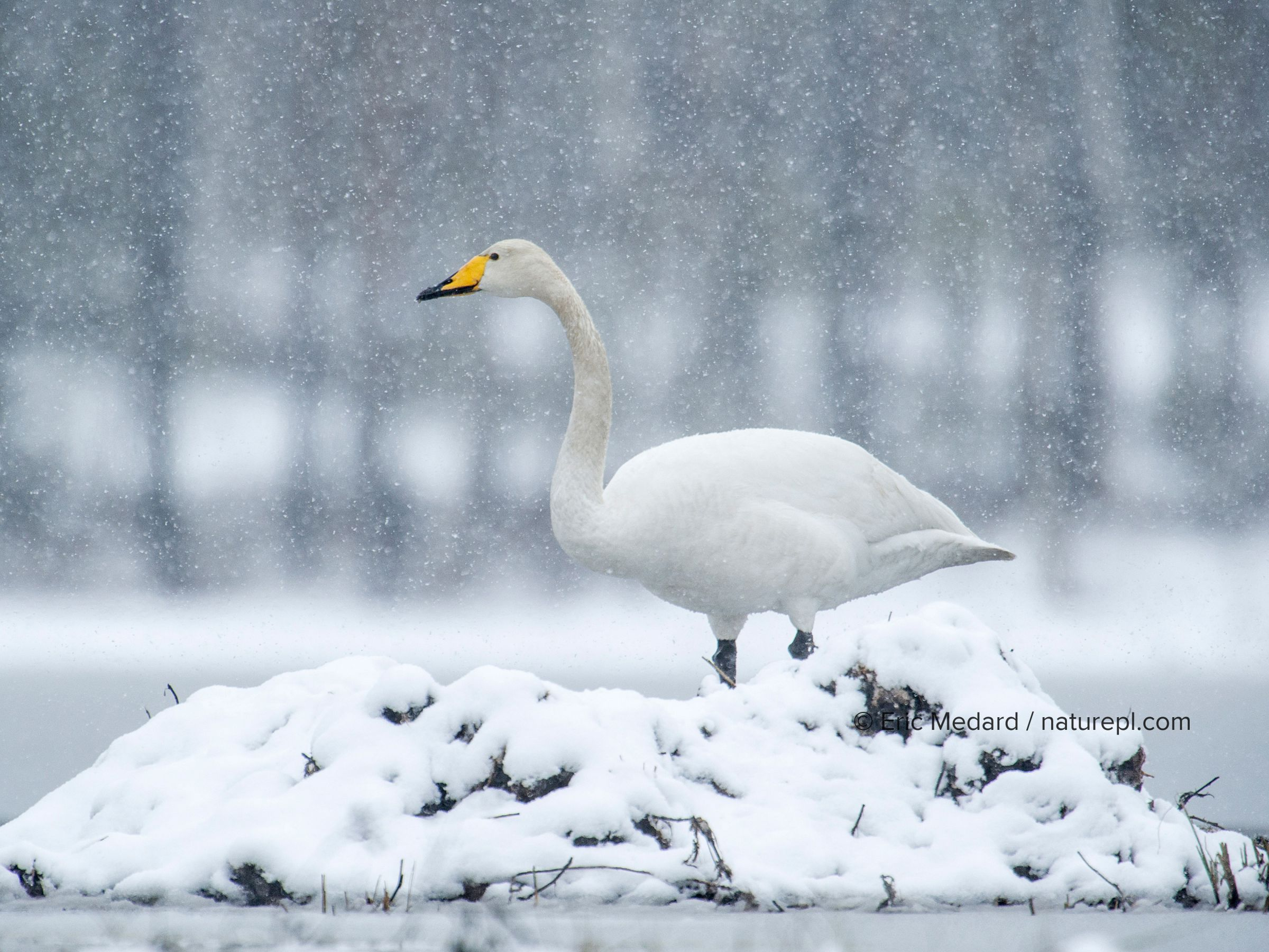 Whooper swan (Cygnus cygnus) resting on nest in snowl, Sweden. May.