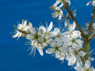Timelapse of blackthorn (Prunus spinosa) flowers opening, UK, April. (c) Steve Downer / naturepl.com.