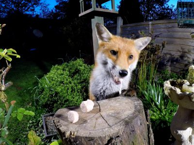Red fox jumping over a fence and taking food left out on a tree stump in a garden, Birmingham, UK