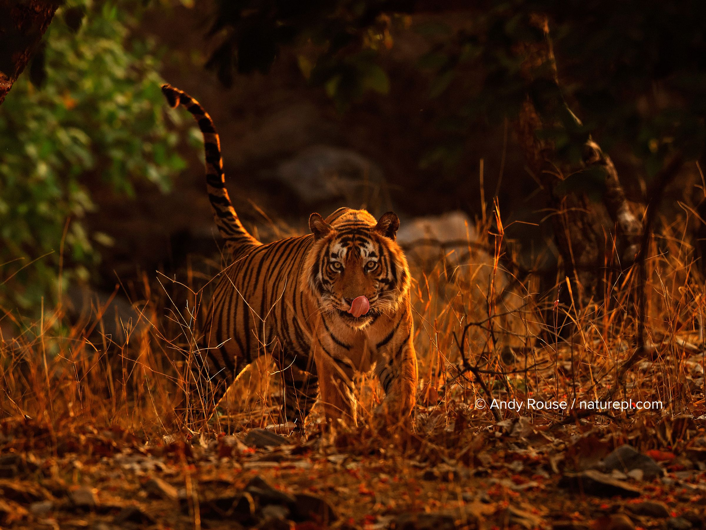 Bengal tiger (Panthera tigris) male T57 walking in dusk light, Ranthambhore, India