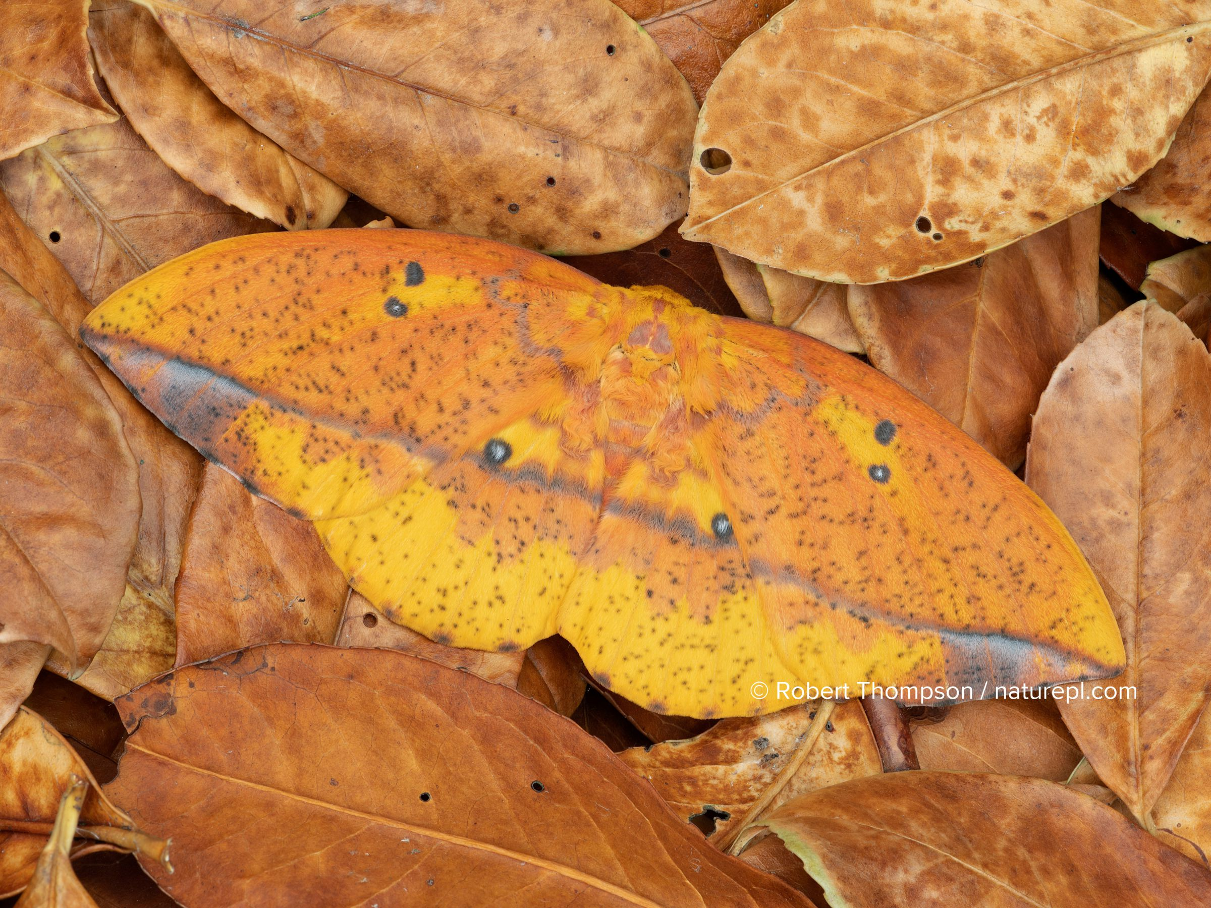 Saturniid moth (Eacles ormondei), female camouflaged in leaf litter. Izabal, Guatemala.