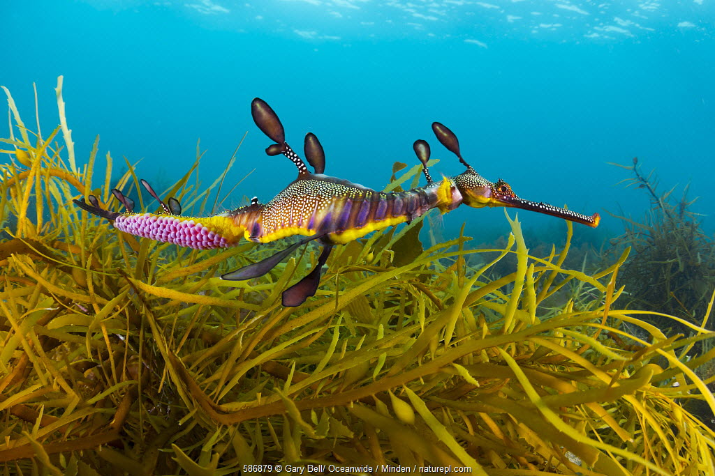 Weedy Seadragon (Phyllopteryx taeniolatus) male with eggs attached to tail, Western Port Bay, Mornington Peninsula, Victoria, Australia.