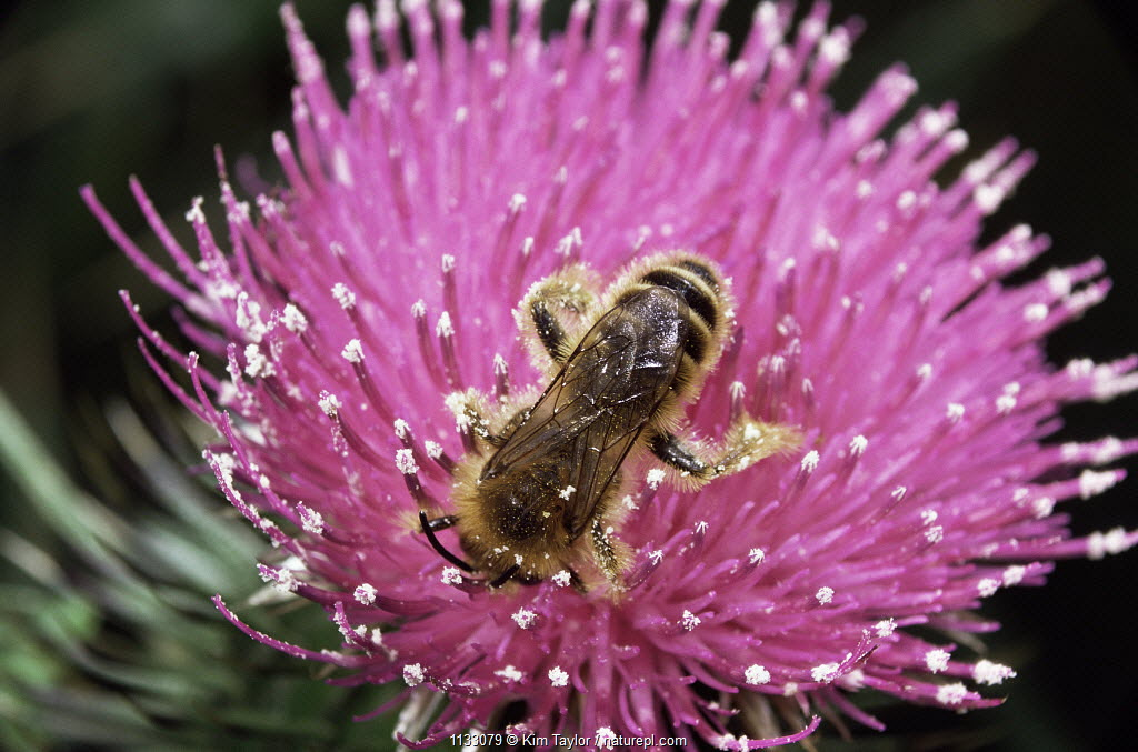 Hairy legged mining bee {Dasypoda hirtipes} male on thistle flower. UK.