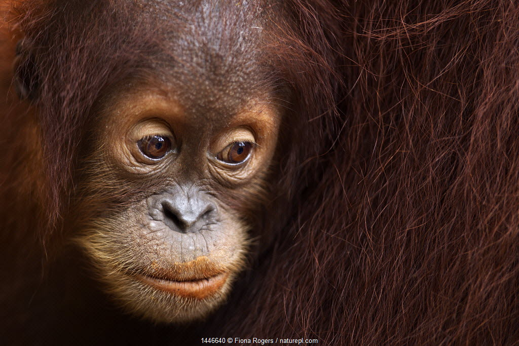 Sumatran orangutan (Pongo abelii) female baby 'Sumi' aged 2-3 years portrait. Gunung Leuser National Park, Sumatra, Indonesia. Apr 2012.