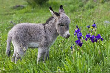 Sardinian donkey foal and Iris flowers, France.
