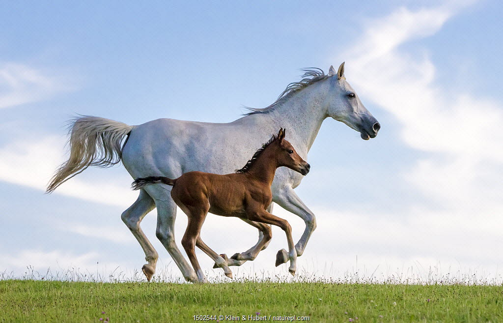Purebred Arabian horse, grey mare and her 3-week bay foal galloping in meadow. France.