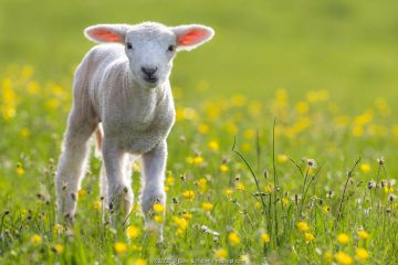 Lamb in meadow with flowers in spring, France.