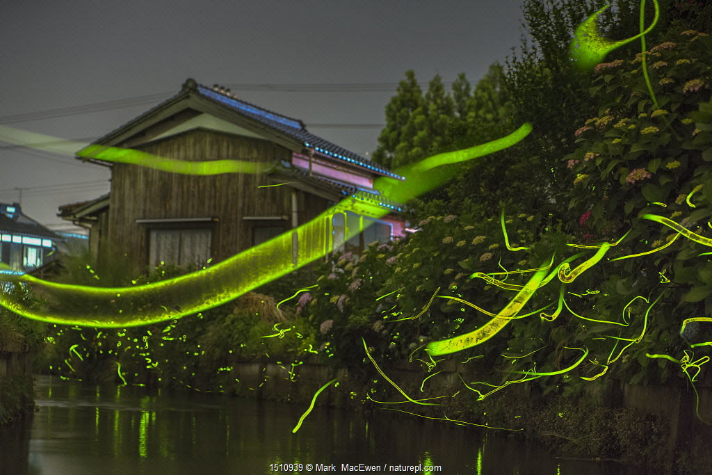 Japanese firefly (Luciola cruciata) light trails at night above stream in rural Japan. June.