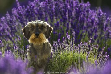 Wire-haired dachshund in lavender field, Provence, France.