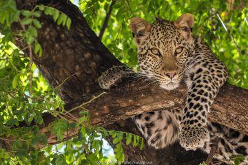 African leopard (Panthera pardus pardus) juvenile female resting in tree, Botswana.