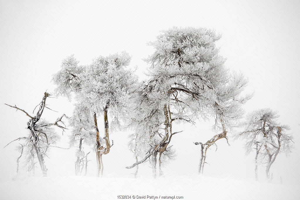 Trees in Hautes Fagnes Nature Reserve in winter after snowfall. Ardennes, Belgium.