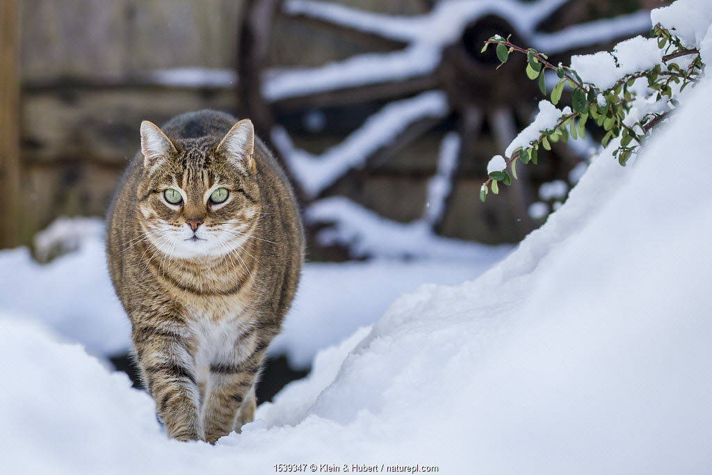 Domestic Tabby cat (Felis silvestris catus) walking in snow, France.