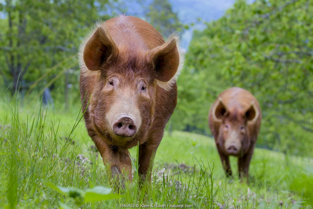 Domestic Tamworth pig - two sows in meadow in spring. Germany.