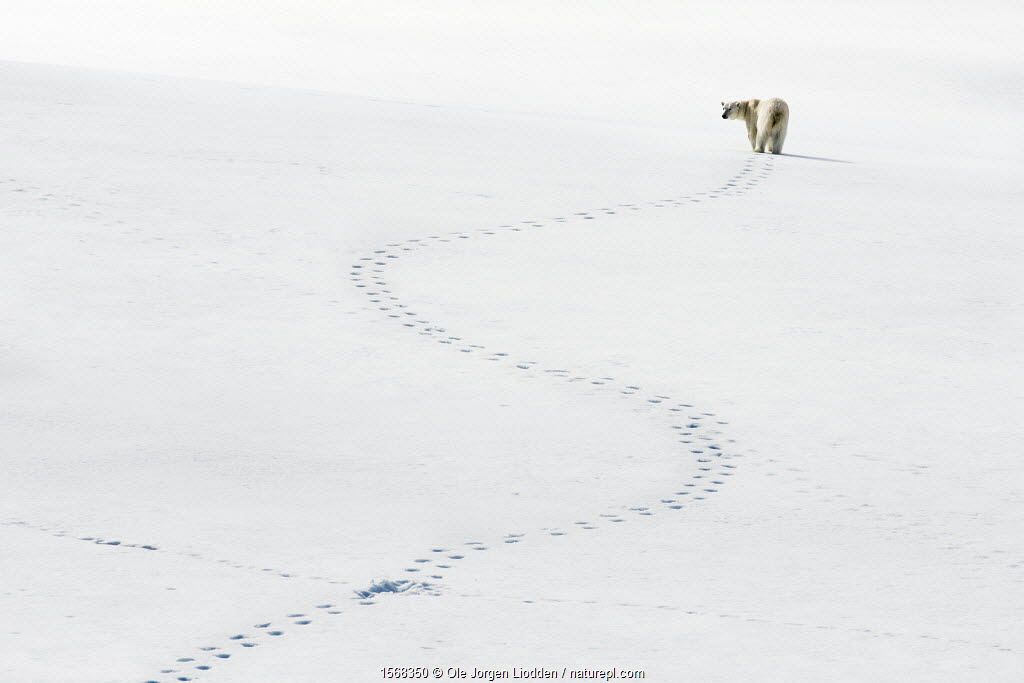 Polar bear (Ursus maritimus) and meandering footprints, Svalbard, Norway.