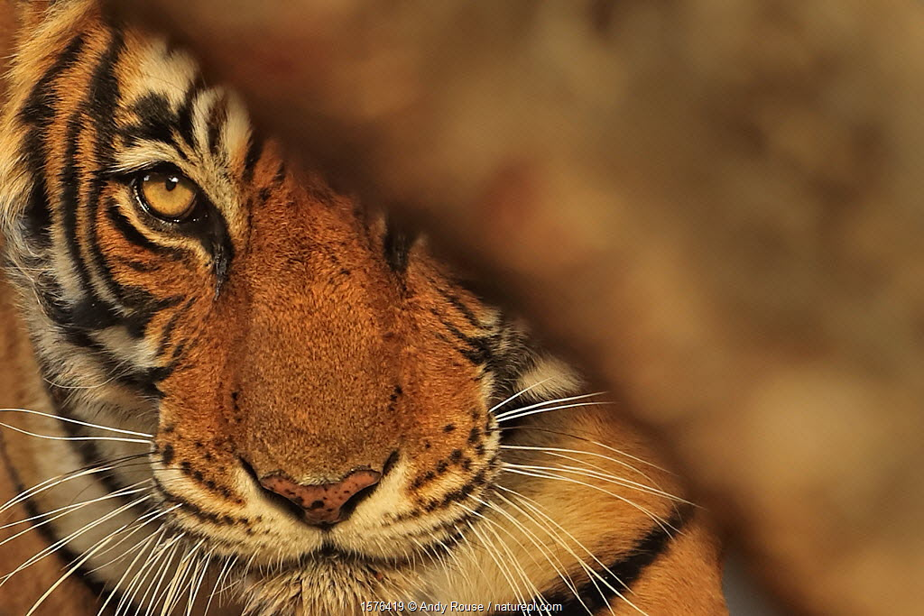 Bengal tiger (Panthera tigris) tigress 'Noor' peering from behind a tree , Ranthambhore, India.
