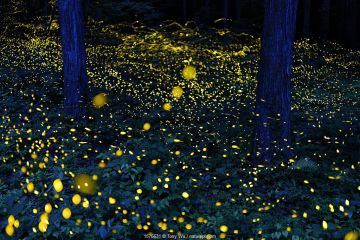 Fireflies (Luciola parvula himebotaru) flashing at night for courtship and reproduction. Gifu, Japan. Composite image