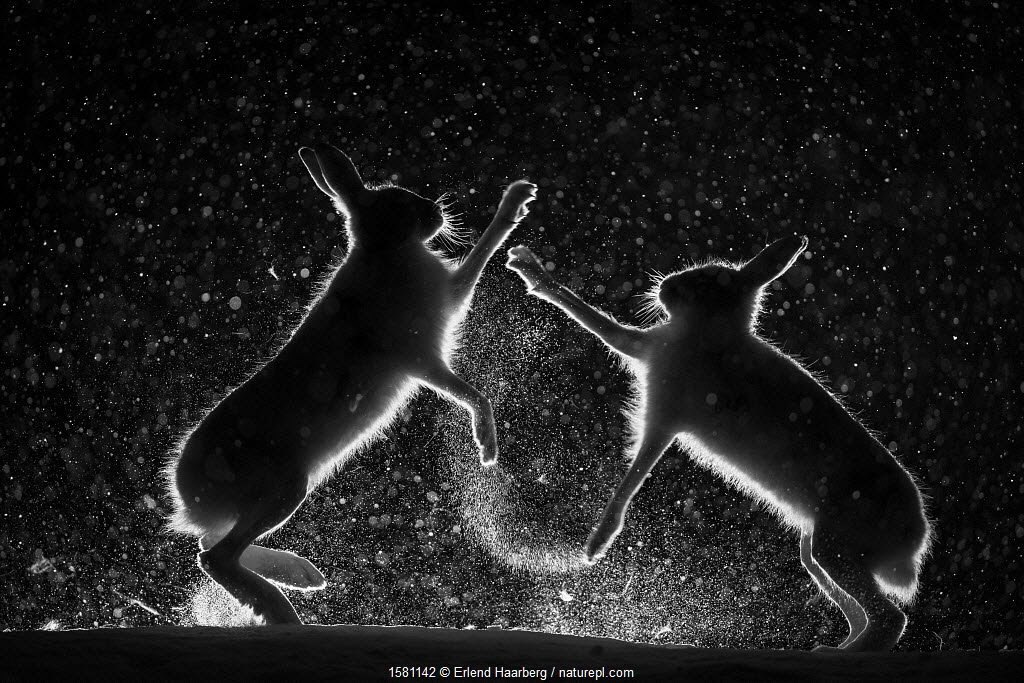 Mountain hares (Lepus timidus) fighting in snow at night, Vauldalen, Norway.