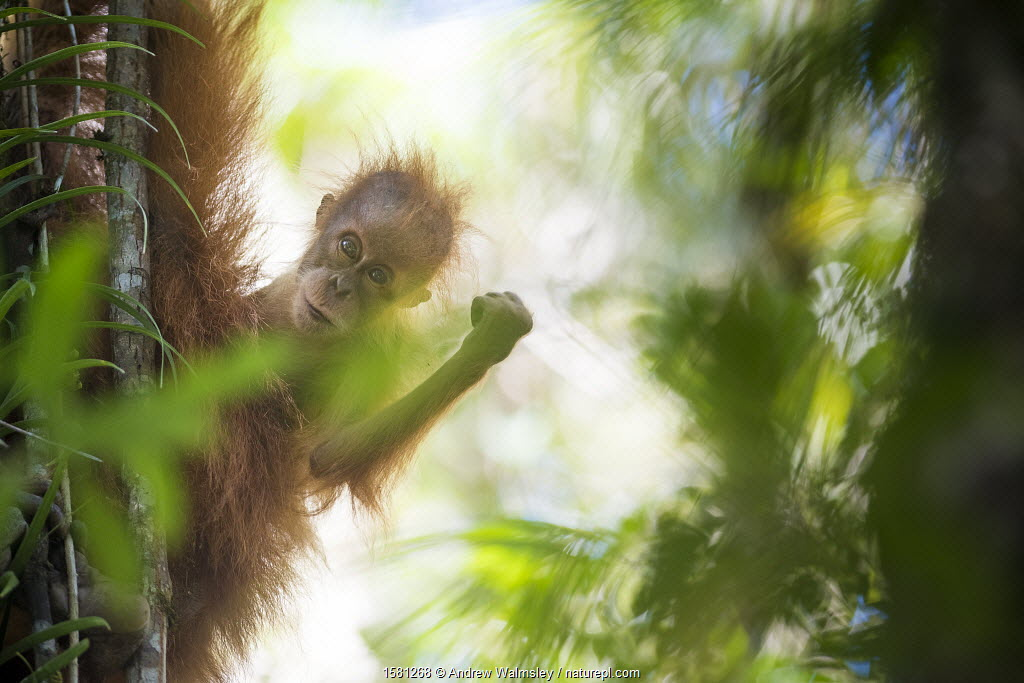 Tapanuli Orangutan (Pongo tapanuliensis) portrait, baby 'Bitang' age two years, Batang Toru, North Sumatra, Indonesia.