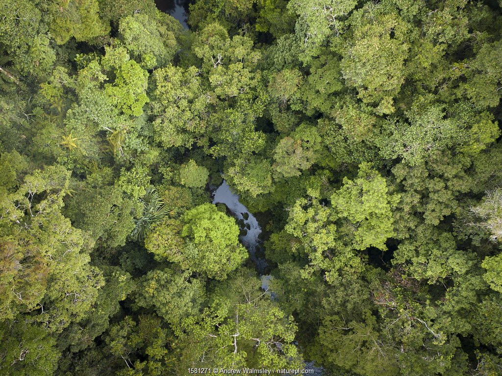 Batang Toru forests, North Sumatra, Indonesia. This forest is home to a newly identified species of orangutan, the Tapanuli Orangutan (Pongo tapanuliensis) with a population of about 800 individuals.