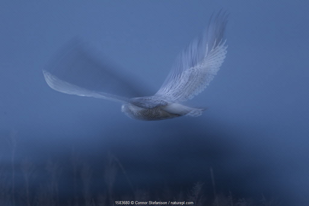 Snowy owl (Bubo Scandiacus) flying though a salt marsh at dawn in Delta, British Columbia, Canada.