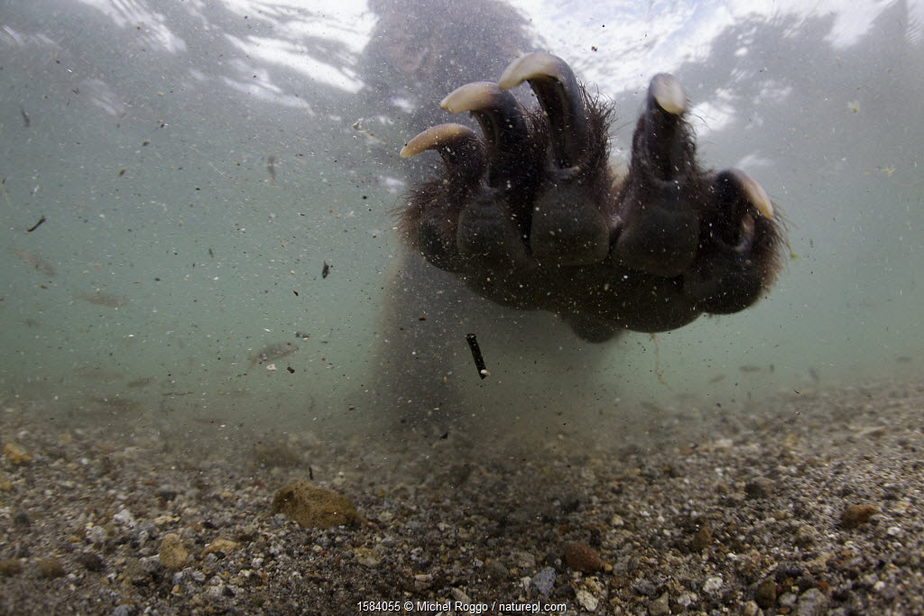 Underwater view of Brown bear (Ursus arctos) fishing for Sockeye salmon (Oncorhynchus nerka) with paw outstretched. Ozernaya River, Kamchatka, Far East Russia.
