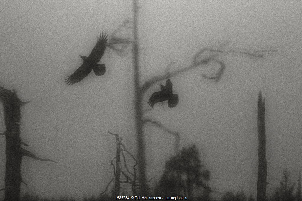 Ravens (Corvus corax) taking off from tree, soft focus black and white image, Finland.