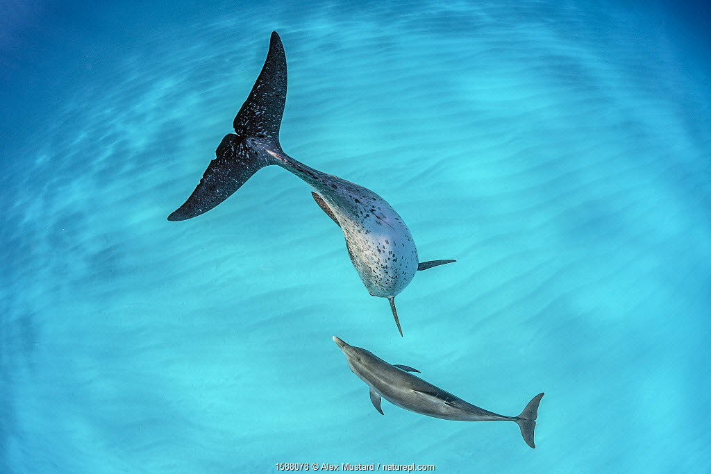Atlantic spotted dolphin (Stenella frontalis) mother and young swimming over a shallow, sandy seabed. North Bimini, Bahamas.