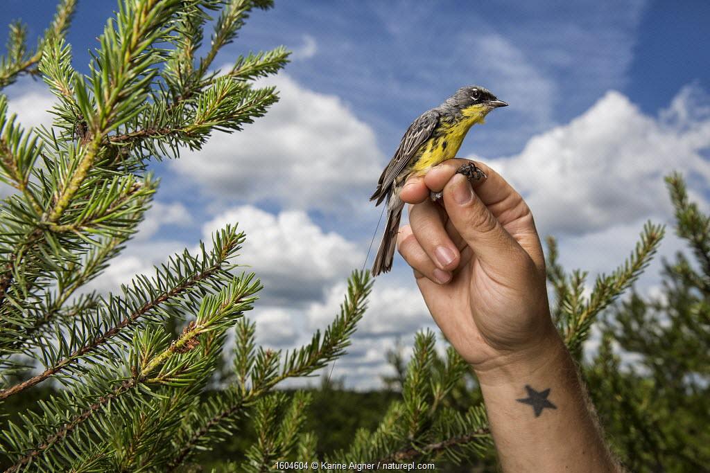 Portrait of a male Kirtland's warbler (Setophaga kirtlandii) held up in scientists hands, in breeding grounds of Jack Pine habitat. Michigan, USA, July 2017.