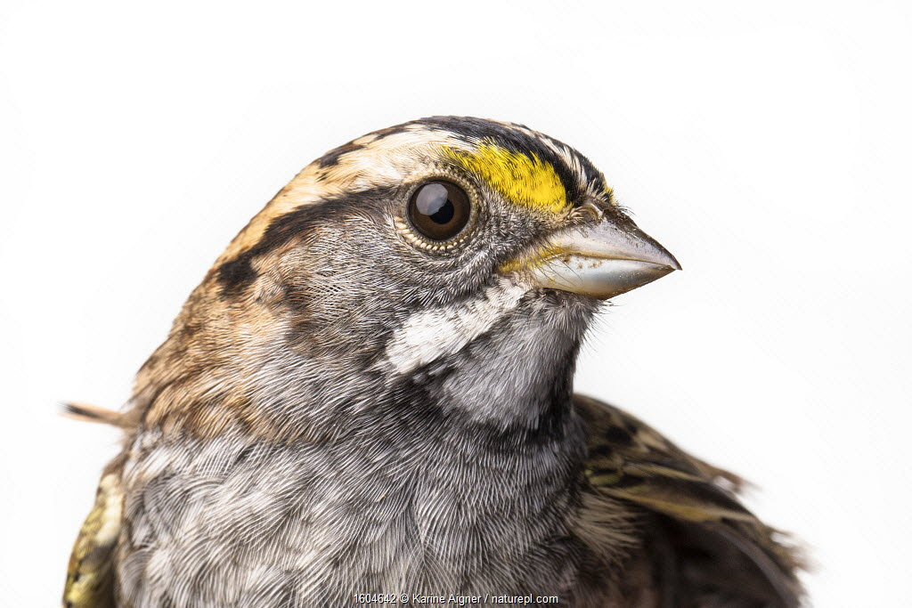 Portrait of a White-throated sparrow, (Zonotrichia albicollis) with white background, Block island, Rhode Island, USA. Bird caught during scientific research.