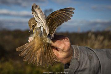 Hermit Thrush (Catharus guttatus) held in hand before release - wearing a barely visible nano-transmitter. Block island, Rhode Island, USA.