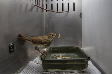 Hermit thrush (Catharus guttatus) captive during scientific study, with a wax worm. This bird is part of a study about weight gain, diet and condition prior to migration. Once the thrush has reached its proper weight it will be fitted with a nano transmitter and released. Block island, Rhode Island, USA.
