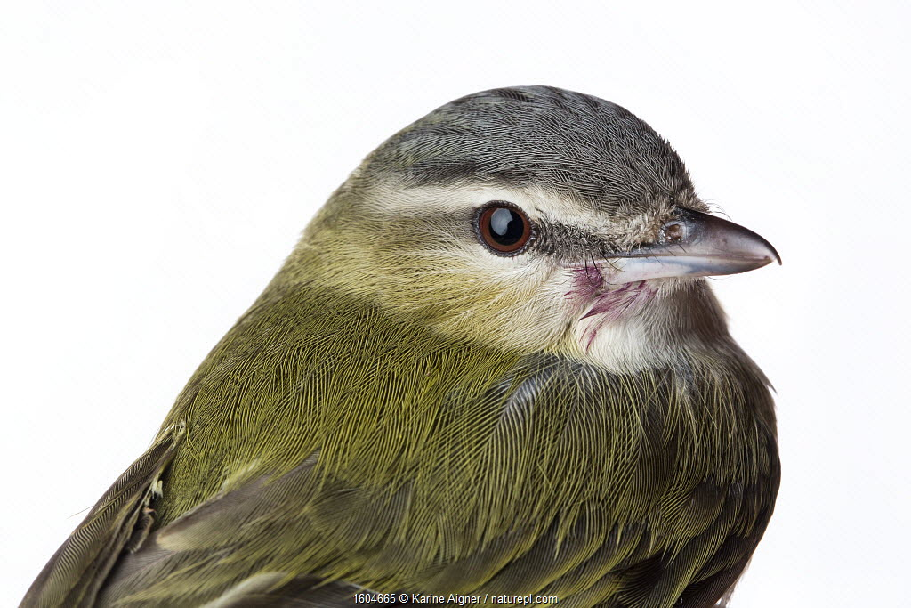 Portrait of a Red-eyed vireo (Vireo olivaceus) with white background, Block island, Rhode Island, USA. Bird caught during scientific research.
