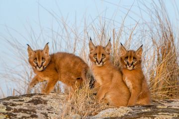 Caracal (Caracal caracal) three kittens age one month, sitting among savanna grass, South Africa.