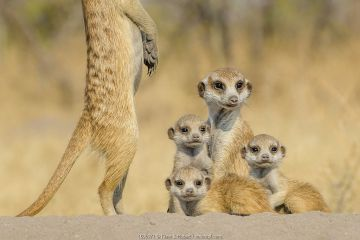 Meerkat (Suricata suricatta) two 'babysitters' with three pups, age one month, playing on burrow, Kalahari Desert, Botswana.