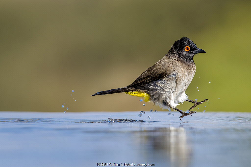 African red-eyed bulbul (Pycnonotus nigricans) jumping while bathing at water hole Kalahari Desert, South Africa.