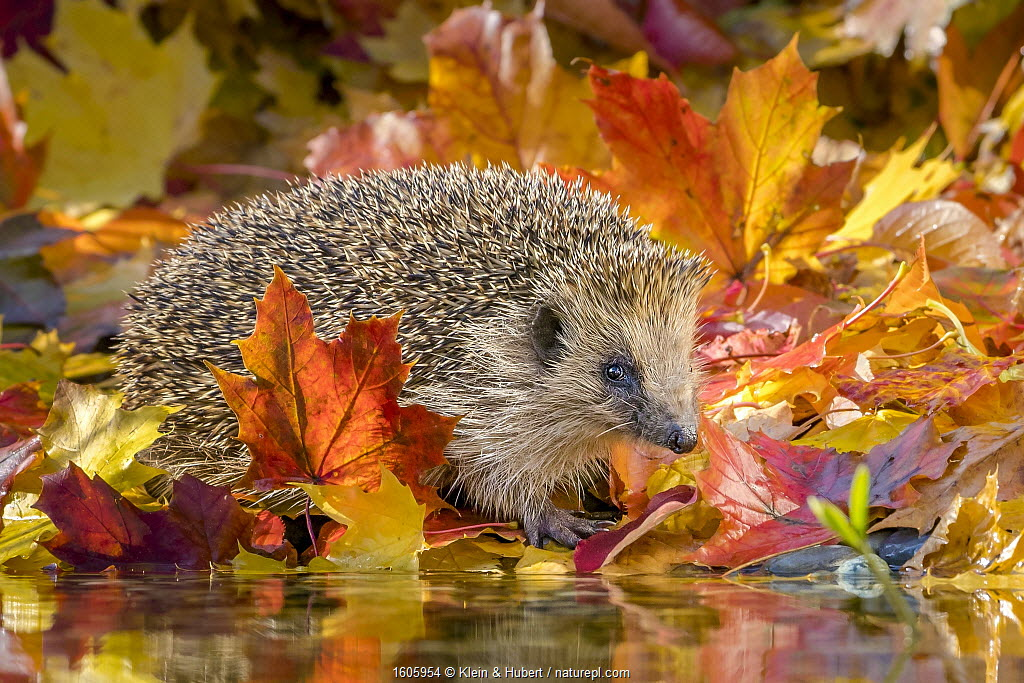 Hedgehog (Erinaceus europaeus) among fallen leaves in autumn, walking past small pool, France.