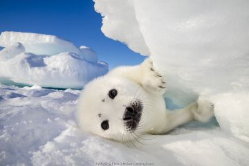 Harp seal (Pagophilus groenlandicus) pup on ice, Gulf of St. Lawrence, Canada.