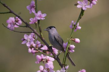 Blackcap (Sylviya atricapilla) male perched in blossom, Hungary, April.